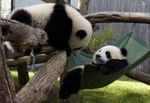 panda-cam2.jpg.size_.custom.crop_.1086x750